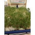 Look how much our watercress has grown!