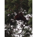The red panda sleeping in the tree