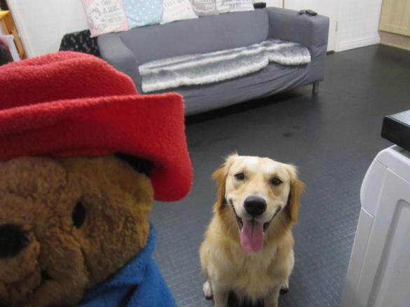 Paddington met Hendrix, the golden retriever!