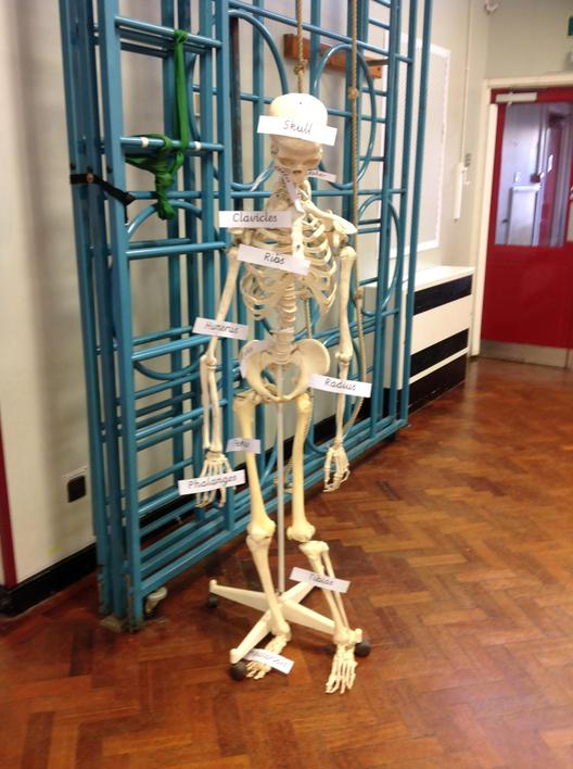 Can you remember the different bones?