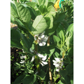 Broad bean plants flowering