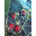 Our strawberries ripening in the hot sunshine.