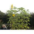 Wow, look how tall the sunflowers have grown!