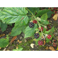 The blackberries are ripening.