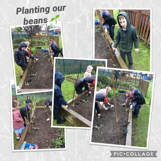Planting our runner beans