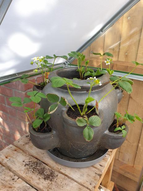 M's strawberry plants