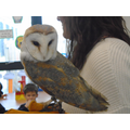 Rocky the Barn Owl