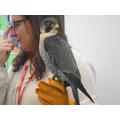Gem the Perigrine Falcon