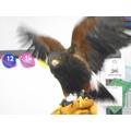 Spirit the Harris Hawk