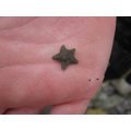 Is this the smallest starfish on the beach?