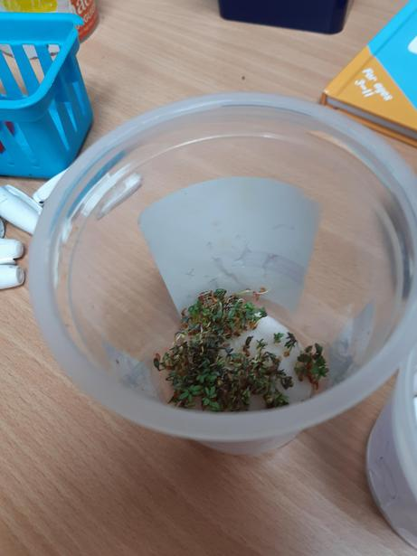 Our cress seeds needed water to germinate and sunlight to turn the leaves green.