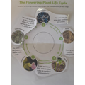 Life cycle of a flowering plant. Can you explain what happens in the 5 stages?