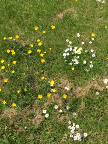 Daisies and buttercups