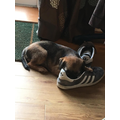 It's hard work being a puppy. This shoe is comfy