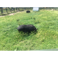 Stonebridge Pigs.JPG