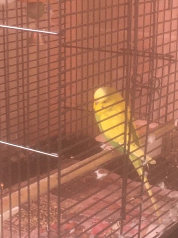 Layla's pet budgie called JoJo