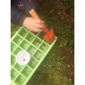 Layla planting apple pips for science.
