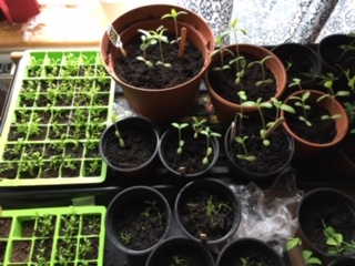 My new seedlings - they are tiny and fragile.