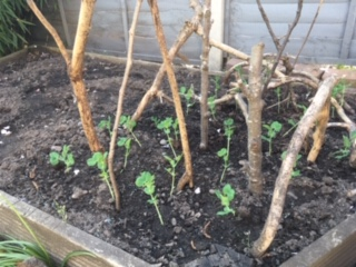 Small pea seedlings ready to grow.