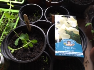 These are Sweet Peas seedlings.