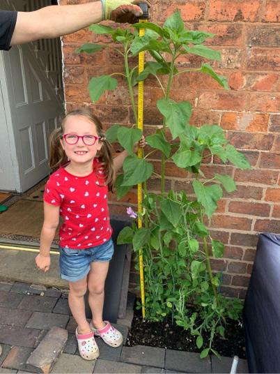 Wow! Jenny's sunflower is 1m and 60cm.