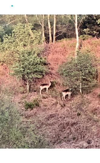 Olivia spotted these beautiful deer on her walk.