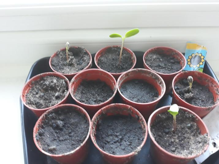 Bertie has been planting vegetables.