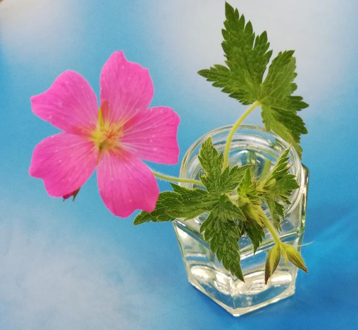A geranium flower