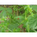 Ladybird grubs