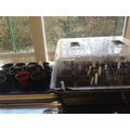 5CL Sowing seeds & potting on
