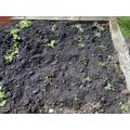 Cauliflower planted by the children