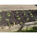 We have planted potatoes and radish planted by the children