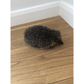 Spikey the hedgehog.png