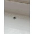Alfie's spider