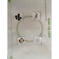 Alfie's spider life cycle