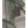Max's butterfly emerged from its cocoon!