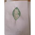 Ivy C