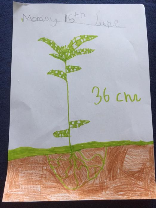 Great measuring and drawing skills, Neve!