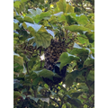 A swarm of bees in the tree near the school path.