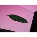 Keena's Leaf drawing