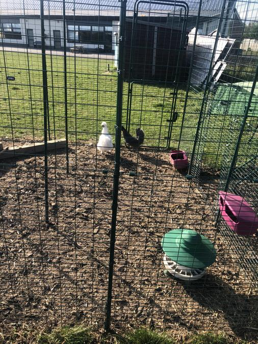 Our chickens! Oreo, Cookie and Einstein