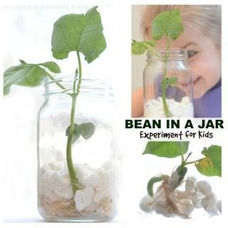 Example of a bean growing