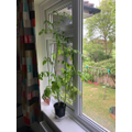 Edward's fantastic tomato plant!