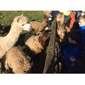 Feeding the rams and alpacas