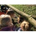 Feeding the Pygmy goats