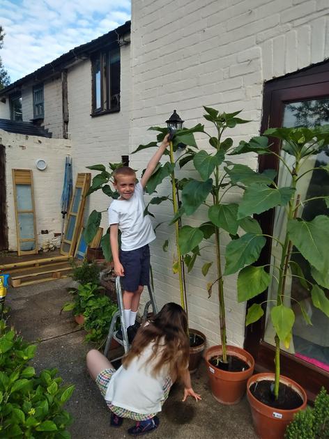 Thomas' sunflower measures at 171.5cm.