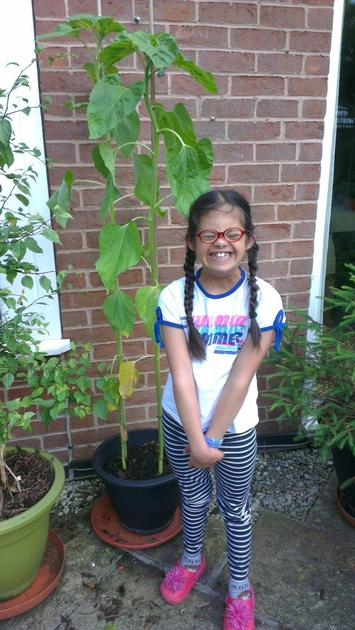 Eleanor's tallest sunflower is now taller than Eleanor and measures 152.5cm!