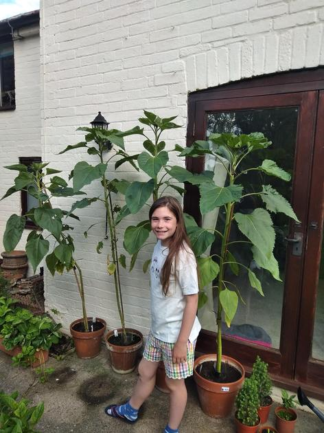 Currently measuring at 178cm from the base of the stem/ compost to the top of the plant.