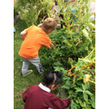 Picking strawberries from the allotment for snack.
