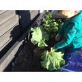 Lanz has been gardening.